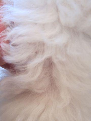 ビションフリーゼフントヒュッテ東京かわいいビションフリーゼこいぬ関東子犬文京区ペットサロンhundehutteトリミングカットモデルビションフリーゼ画像Bichon Frise279.jpg