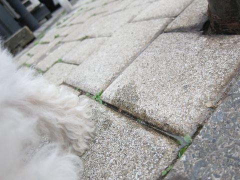 ビションフリーゼフントヒュッテ東京かわいいビションフリーゼこいぬ関東子犬文京区ペットサロンhundehutteトリミングカットモデルビションフリーゼ画像Bichon Frise289.jpg