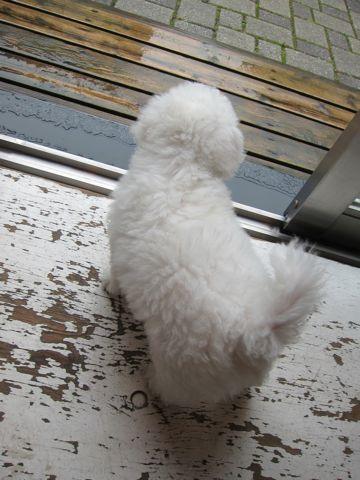 ビションフリーゼフントヒュッテ東京かわいいビションフリーゼ子犬関東こいぬ文京区hundehutteビションフリーゼ画像Bichon Friseビションフリーゼおんなのこメス子犬 36.jpg