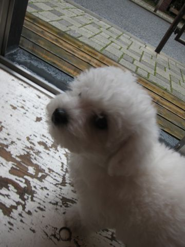 ビションフリーゼフントヒュッテ東京かわいいビションフリーゼ子犬関東こいぬ文京区hundehutteビションフリーゼ画像Bichon Friseビションフリーゼおんなのこメス子犬 37.jpg