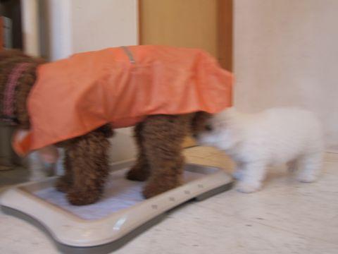 ビションフリーゼフントヒュッテ東京かわいいビションフリーゼ子犬関東こいぬ文京区hundehutteビションフリーゼ画像Bichon Friseビションフリーゼおんなのこメス子犬 41.jpg