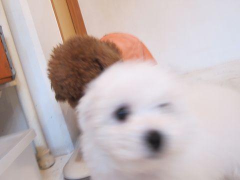 ビションフリーゼフントヒュッテ東京かわいいビションフリーゼ子犬関東こいぬ文京区hundehutteビションフリーゼ画像Bichon Friseビションフリーゼおんなのこメス子犬 46.jpg