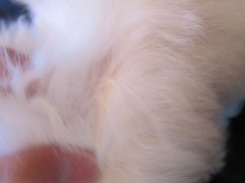 ビションフリーゼフントヒュッテ東京かわいいビションフリーゼ子犬関東こいぬ文京区hundehutteビションフリーゼ画像Bichon Friseビションフリーゼおんなのこメス子犬 92.jpg