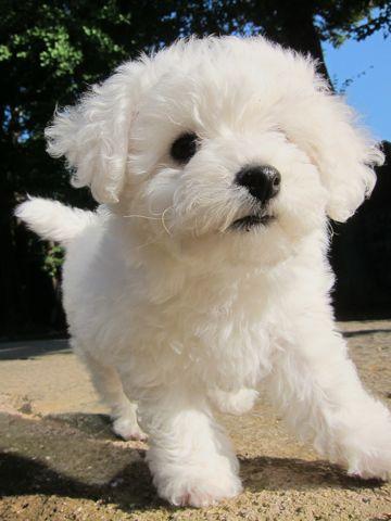 ビションフリーゼフントヒュッテ東京かわいいビションフリーゼ子犬関東こいぬ文京区hundehutteビションフリーゼ画像Bichon Friseビションフリーゼおんなのこメス子犬 102.jpg