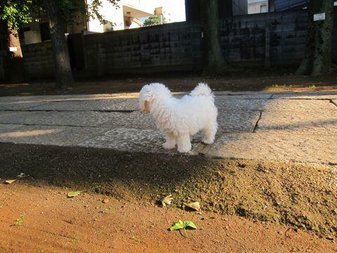 ビションフリーゼフントヒュッテ東京かわいいビションフリーゼ子犬関東こいぬ文京区hundehutteビションフリーゼ画像Bichon Friseビションフリーゼおんなのこメス子犬 107.jpg