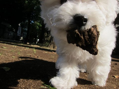 ビションフリーゼフントヒュッテ東京かわいいビションフリーゼ子犬関東こいぬ文京区hundehutteビションフリーゼ画像Bichon Friseビションフリーゼおんなのこメス子犬 129.jpg