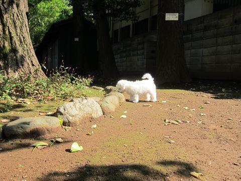 ビションフリーゼフントヒュッテ東京かわいいビションフリーゼ子犬関東こいぬ文京区hundehutteビションフリーゼ画像Bichon Friseビションフリーゼおんなのこメス子犬 132.jpg