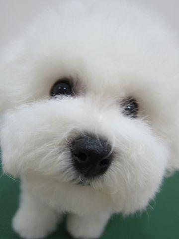 ビションフリーゼフントヒュッテ東京かわいいビションフリーゼ子犬関東こいぬ文京区hundehutteビションフリーゼ画像Bichon Friseビションフリーゼおんなのこメス子犬 c.jpg