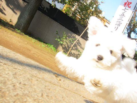 ビションフリーゼフントヒュッテ東京かわいいビションフリーゼ子犬関東こいぬ文京区hundehutteビションフリーゼ画像Bichon Friseビションフリーゼおんなのこメス子犬 o.jpg