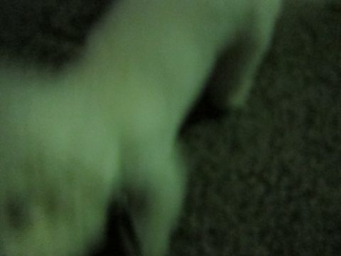 犬ペットホテルおあずかり文京区ビションフリーゼフントヒュッテ東京トリミングサロン関東hundehutteペットサロンビション画像ビションフリーゼトリミング料金21.jpg