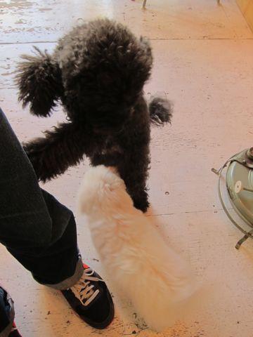 犬ペットホテルおあずかり文京区ビションフリーゼフントヒュッテ東京トリミングサロン関東hundehutteペットサロンビション画像ビションフリーゼトリミング料金60.jpg
