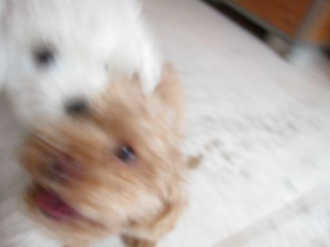 ビションフリーゼフントヒュッテ東京かわいいビションフリーゼ子犬関東こいぬ文京区hundehutteビションフリーゼ画像Bichon Friseビションフリーゼおんなのこメス子犬 159.jpg