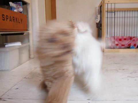 ビションフリーゼフントヒュッテ東京かわいいビションフリーゼ子犬関東こいぬ文京区hundehutteビションフリーゼ画像Bichon Friseビションフリーゼおんなのこメス子犬 160.jpg