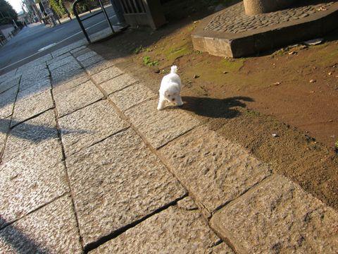 ビションフリーゼフントヒュッテ東京かわいいビションフリーゼ子犬関東こいぬ文京区hundehutteビションフリーゼ画像Bichon Friseビションフリーゼおんなのこメス子犬 169.jpg