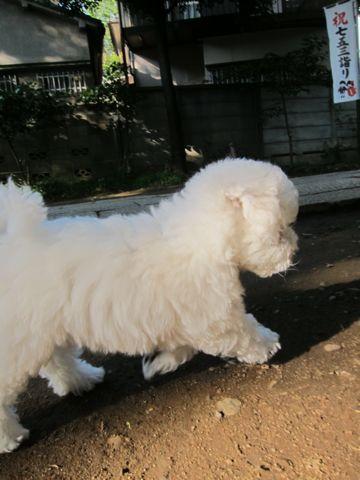 ビションフリーゼフントヒュッテ東京かわいいビションフリーゼ子犬関東こいぬ文京区hundehutteビションフリーゼ画像Bichon Friseビションフリーゼおんなのこメス子犬 170.jpg
