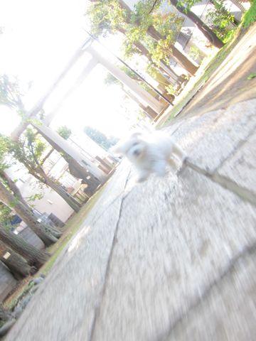 ビションフリーゼフントヒュッテ東京かわいいビションフリーゼ子犬関東こいぬ文京区hundehutteビションフリーゼ画像Bichon Friseビションフリーゼおんなのこメス子犬 175.jpg