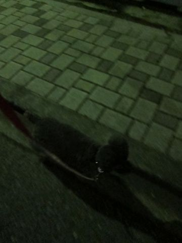 ビションフリーゼフントヒュッテ東京かわいいビションフリーゼ子犬関東こいぬ文京区hundehutteビションフリーゼ画像Bichon Friseビションフリーゼおんなのこメス子犬 188.jpg