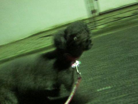 ビションフリーゼフントヒュッテ東京かわいいビションフリーゼ子犬関東こいぬ文京区hundehutteビションフリーゼ画像Bichon Friseビションフリーゼおんなのこメス子犬 189.jpg