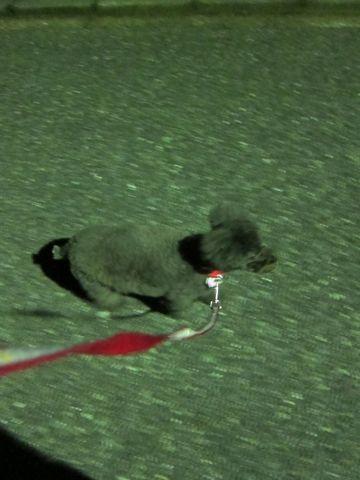 ビションフリーゼフントヒュッテ東京かわいいビションフリーゼ子犬関東こいぬ文京区hundehutteビションフリーゼ画像Bichon Friseビションフリーゼおんなのこメス子犬 190.jpg