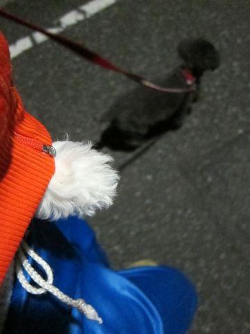ビションフリーゼフントヒュッテ東京かわいいビションフリーゼ子犬関東こいぬ文京区hundehutteビションフリーゼ画像Bichon Friseビションフリーゼおんなのこメス子犬 192.jpg