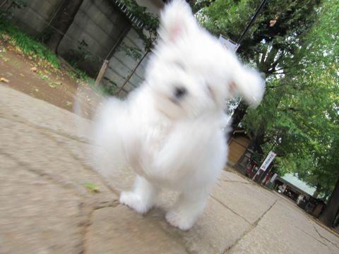 ビションフリーゼフントヒュッテ東京かわいいビションフリーゼ子犬関東こいぬ文京区hundehutteビションフリーゼ画像Bichon Friseビションフリーゼおんなのこメス子犬 226.jpg