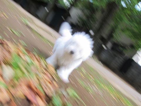 ビションフリーゼフントヒュッテ東京かわいいビションフリーゼ子犬関東こいぬ文京区hundehutteビションフリーゼ画像Bichon Friseビションフリーゼおんなのこメス子犬 227.jpg