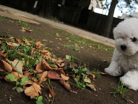 ビションフリーゼフントヒュッテ東京かわいいビションフリーゼ子犬関東こいぬ文京区hundehutteビションフリーゼ画像Bichon Friseビションフリーゼおんなのこメス子犬 228.jpg