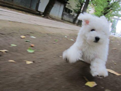 ビションフリーゼフントヒュッテ東京かわいいビションフリーゼ子犬関東こいぬ文京区hundehutteビションフリーゼ画像Bichon Friseビションフリーゼおんなのこメス子犬 232.jpg