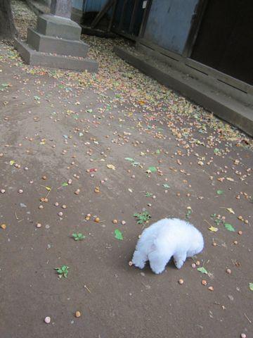 ビションフリーゼフントヒュッテ東京かわいいビションフリーゼ子犬関東こいぬ文京区hundehutteビションフリーゼ画像Bichon Friseビションフリーゼおんなのこメス子犬 234.jpg