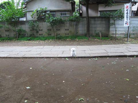 ビションフリーゼフントヒュッテ東京かわいいビションフリーゼ子犬関東こいぬ文京区hundehutteビションフリーゼ画像Bichon Friseビションフリーゼおんなのこメス子犬 238.jpg