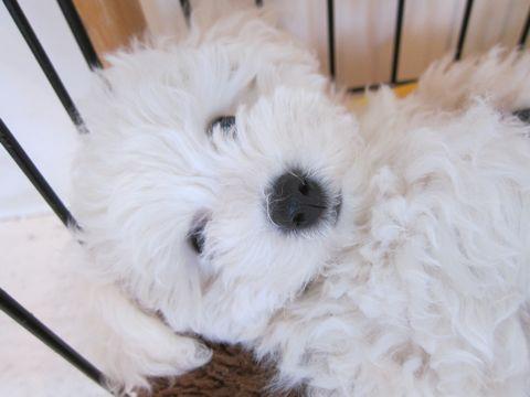 ビションフリーゼフントヒュッテ東京かわいいビションフリーゼ子犬関東こいぬ文京区hundehutteビションフリーゼ画像Bichon Friseビションフリーゼおんなのこメス子犬 243.jpg