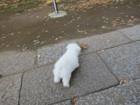ビションフリーゼフントヒュッテ東京かわいいビションフリーゼ子犬関東こいぬ文京区hundehutteビションフリーゼ画像Bichon Friseビションフリーゼおんなのこメス子犬 271.jpg
