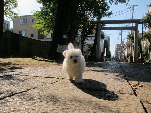 ビションフリーゼフントヒュッテ東京かわいいビションフリーゼ子犬関東こいぬ文京区hundehutteビションフリーゼ画像Bichon Friseビションフリーゼおんなのこメス子犬 274.jpg