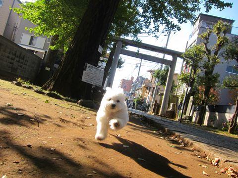 ビションフリーゼフントヒュッテ東京かわいいビションフリーゼ子犬関東こいぬ文京区hundehutteビションフリーゼ画像Bichon Friseビションフリーゼおんなのこメス子犬 280.jpg