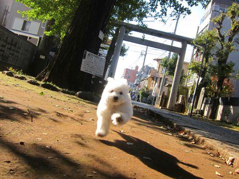 ビションフリーゼフントヒュッテ東京かわいいビションフリーゼ子犬関東こいぬ文京区hundehutteビションフリーゼ画像Bichon Friseビションフリーゼおんなのこメス子犬 281.jpg