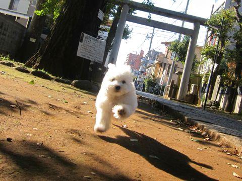 ビションフリーゼフントヒュッテ東京かわいいビションフリーゼ子犬関東こいぬ文京区hundehutteビションフリーゼ画像Bichon Friseビションフリーゼおんなのこメス子犬 282.jpg