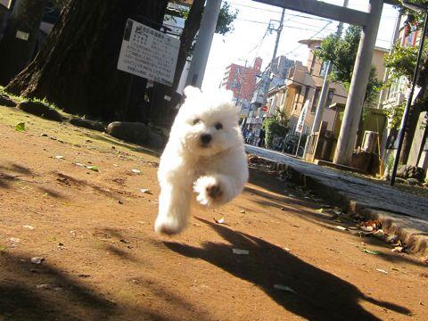 ビションフリーゼフントヒュッテ東京かわいいビションフリーゼ子犬関東こいぬ文京区hundehutteビションフリーゼ画像Bichon Friseビションフリーゼおんなのこメス子犬 283.jpg