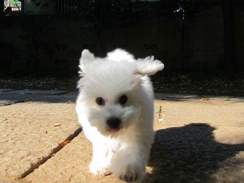 ビションフリーゼフントヒュッテ東京かわいいビションフリーゼ子犬関東こいぬ文京区hundehutteビションフリーゼ画像Bichon Friseビションフリーゼおんなのこメス子犬 286.jpg