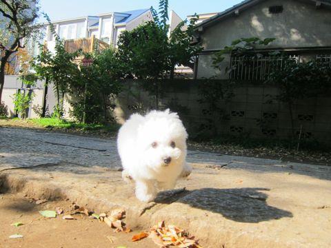 ビションフリーゼフントヒュッテ東京かわいいビションフリーゼ子犬関東こいぬ文京区hundehutteビションフリーゼ画像Bichon Friseビションフリーゼおんなのこメス子犬 288.jpg