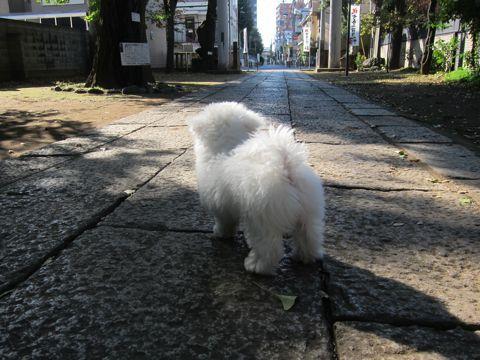 ビションフリーゼフントヒュッテ東京かわいいビションフリーゼ子犬関東こいぬ文京区hundehutteビションフリーゼ画像Bichon Friseビションフリーゼおんなのこメス子犬 293.jpg