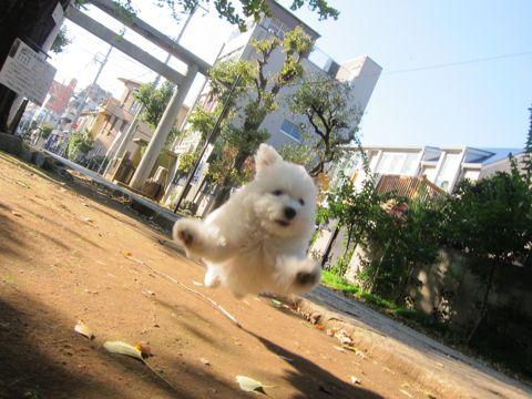 ビションフリーゼフントヒュッテ東京かわいいビションフリーゼ子犬関東こいぬ文京区hundehutteビションフリーゼ画像Bichon Friseビションフリーゼおんなのこメス子犬 294.jpg