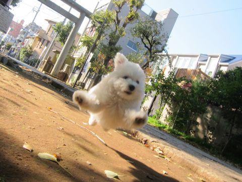 ビションフリーゼフントヒュッテ東京かわいいビションフリーゼ子犬関東こいぬ文京区hundehutteビションフリーゼ画像Bichon Friseビションフリーゼおんなのこメス子犬 295.jpg
