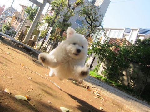 ビションフリーゼフントヒュッテ東京かわいいビションフリーゼ子犬関東こいぬ文京区hundehutteビションフリーゼ画像Bichon Friseビションフリーゼおんなのこメス子犬 296.jpg