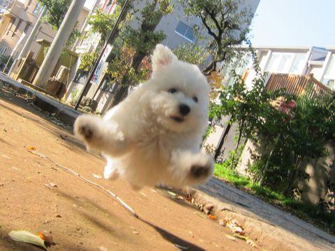 ビションフリーゼフントヒュッテ東京かわいいビションフリーゼ子犬関東こいぬ文京区hundehutteビションフリーゼ画像Bichon Friseビションフリーゼおんなのこメス子犬 297.jpg