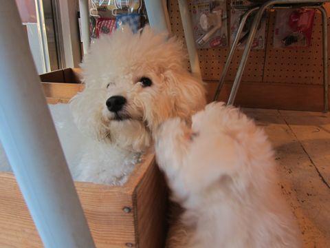 ビションフリーゼフントヒュッテ東京かわいいビションフリーゼ子犬関東こいぬ文京区hundehutteビションフリーゼ画像Bichon Friseビションフリーゼおんなのこメス子犬 300.jpg