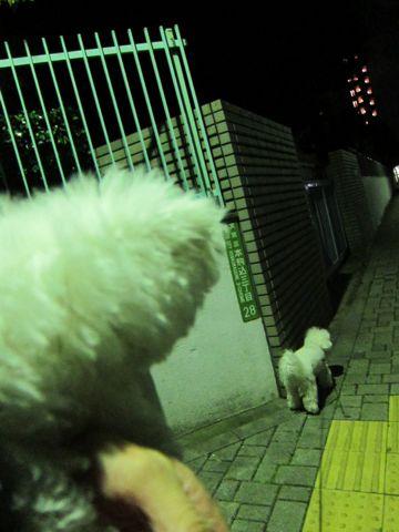 ビションフリーゼフントヒュッテ東京かわいいビションフリーゼ子犬関東こいぬ文京区hundehutteビションフリーゼ画像Bichon Friseビションフリーゼおんなのこメス子犬 304.jpg
