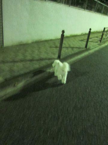ビションフリーゼフントヒュッテ東京かわいいビションフリーゼ子犬関東こいぬ文京区hundehutteビションフリーゼ画像Bichon Friseビションフリーゼおんなのこメス子犬 305.jpg