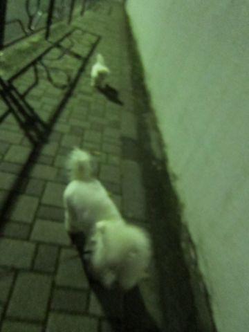 ビションフリーゼフントヒュッテ東京かわいいビションフリーゼ子犬関東こいぬ文京区hundehutteビションフリーゼ画像Bichon Friseビションフリーゼおんなのこメス子犬 307.jpg