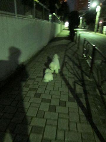 ビションフリーゼフントヒュッテ東京かわいいビションフリーゼ子犬関東こいぬ文京区hundehutteビションフリーゼ画像Bichon Friseビションフリーゼおんなのこメス子犬 308.jpg