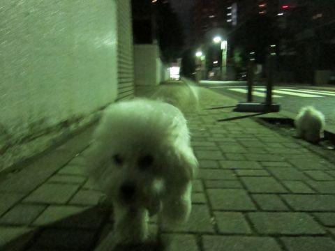 ビションフリーゼフントヒュッテ東京かわいいビションフリーゼ子犬関東こいぬ文京区hundehutteビションフリーゼ画像Bichon Friseビションフリーゼおんなのこメス子犬 310.jpg